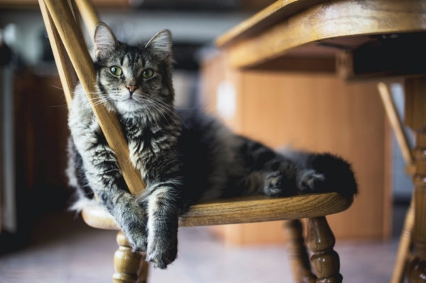 A brown tabby cat with greenish eyes sitting on a wooden chair facing the camera. They look relaxed and comfortable. Photo credit to Kari Shea of Unsplash.